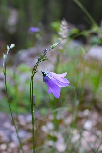 Purple wildflower from Jasper National Park, Canada. Can anyone identify this flower?: Jasper National, Purple Wildflower, Purple Flowers, National Parks
