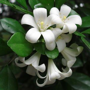Murraya paniculataCommonly known as Orange Jessamine or Mock Orange this native evergreen shrub has a dense round habit with highly perfumed white flowers i