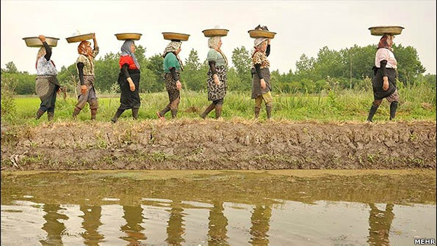 Women helping in rice lands in north of #Iran #Gilan