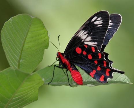 Swallowtail: Beautiful Butterflies, Swallowtail Butterflies, Four Seasons, Rose Atrophaneura, Rose Swallowtail, Atrophaneura Hector, Admire, Crimson Rose, Butterflies Beautiful
