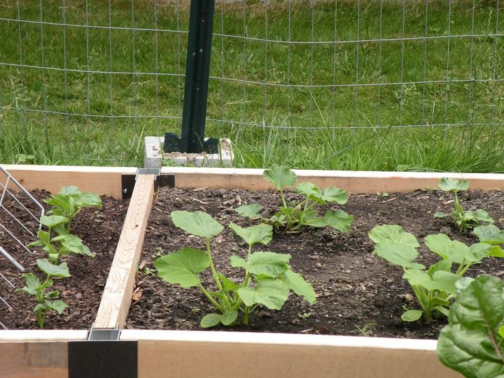 cucumbers, zucchini and summer squash: Summer Squash