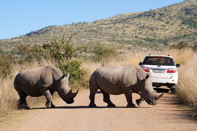 White Rhino in the Pilanesberg Nature Reserve. Photo by Villiers Steyn.