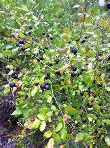 wild blueberry bushes - Ecosia