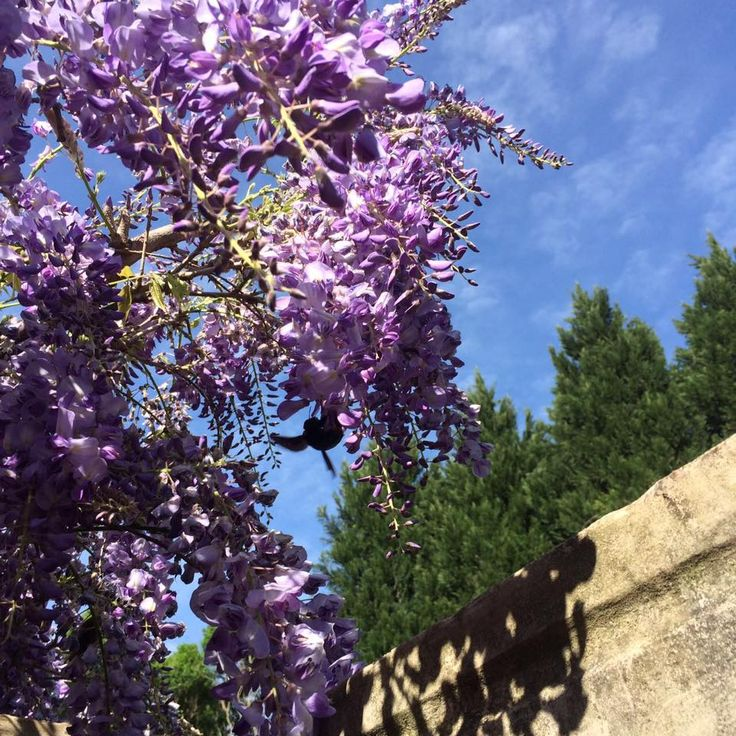 So many bumblebees in the Wisteria, so beautiful!