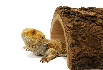 Bearded Dragon Costs