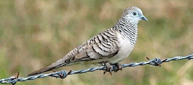 Perkutut Langka Dan Unik Yang Diyakini Bikin Hoki Dan Sial Di 2021 Burung