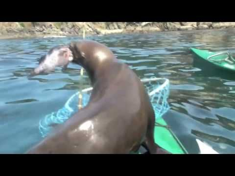 Sea Lion goes for a free lunch with Kayaker