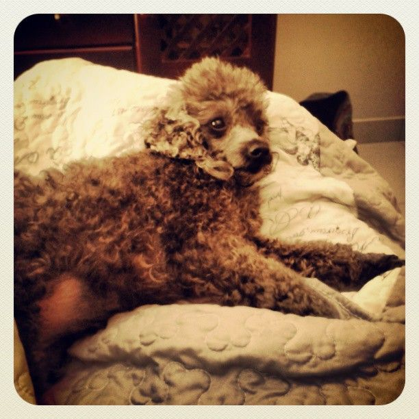 This is a salt and pepper french poodle called bubbles