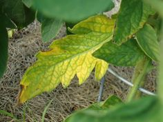 Early blight seen on this plant. Prevention and natural treatment of common tomato plant diseases and various problems.