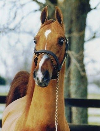 American Saddlebred stallion Supreme Heir out of CH Supreme Airs (BHF)
