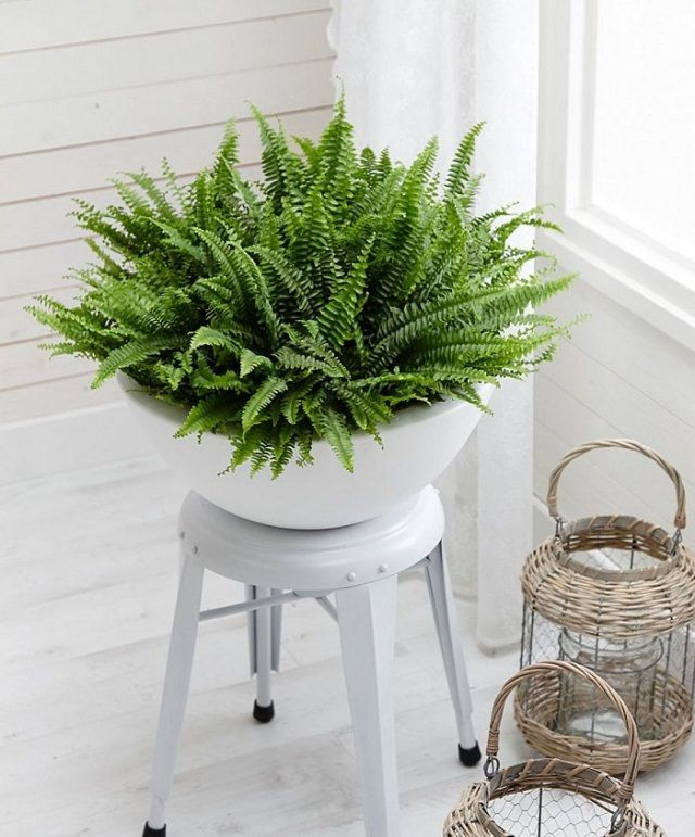 Best 25+ Indoor ferns ideas on Pinterest | Grow lights for plants ...