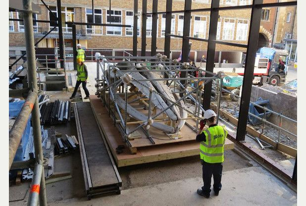 Cambridge University museum's giant whale skeleton begins return to site after two years in a shed