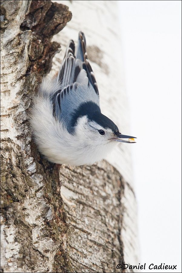 Seeds for breakfast for this cute little nuthatch.  Ottawa, Canada.