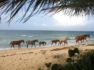 Wild horses on the beach, Vieques island