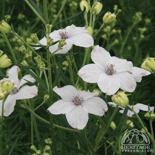 Delphinium grandiflorum 'Summer Morning'