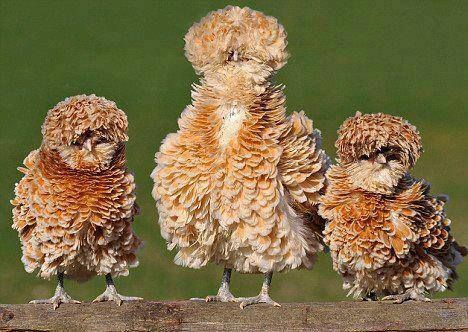 Frizzle chickens.  A Frizzle is a type of chicken with feathers that curl outwards, rather than lying flat as in most chickens. While many consider the Frizzle to be an entirely separate breed, it is not. Chickens from all breeds may have a frizzled appearance.