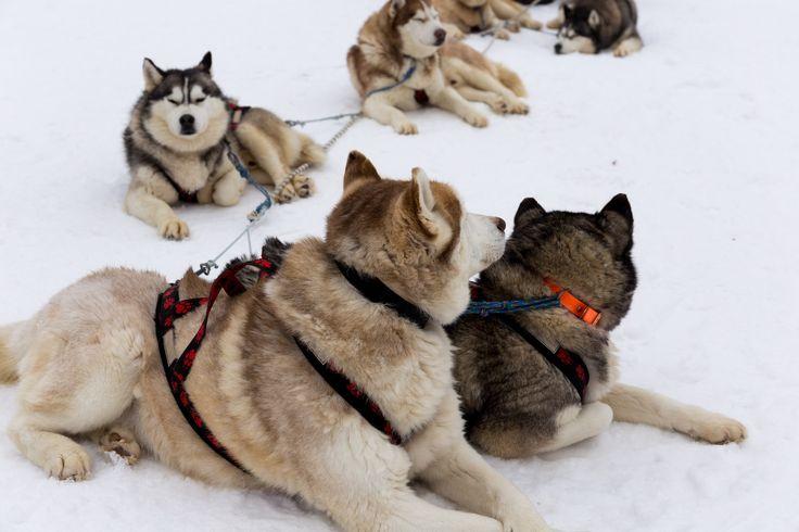 Husky Dogs - Pamporovo / Bulgary