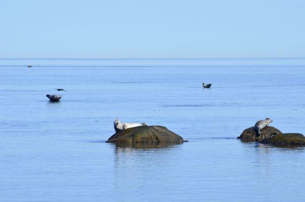 L'esprit du fleuve: les phoques gris à lLe phare des îles du Pot-à-l'eau-de-vie   Le fleuve St - Laurent et ses phoques gris à l'île aux Lièvres en face de Rivière du Loup