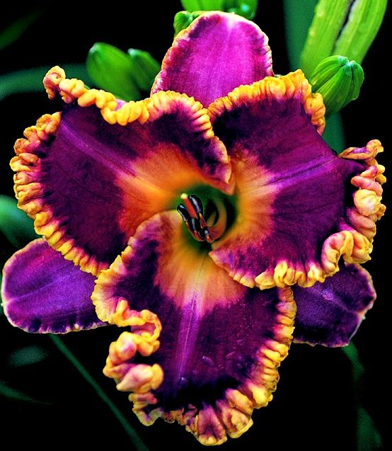 day lilly ...never seen one like this...