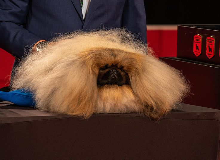 Wasabi the Pekingese Wins Best in Show at the 2019 AKC
