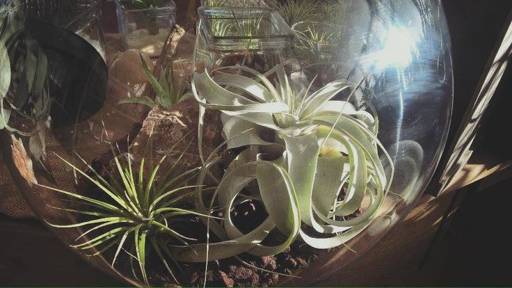 Join the world of the airplants!!! #airplants #terrarium #airplantgr