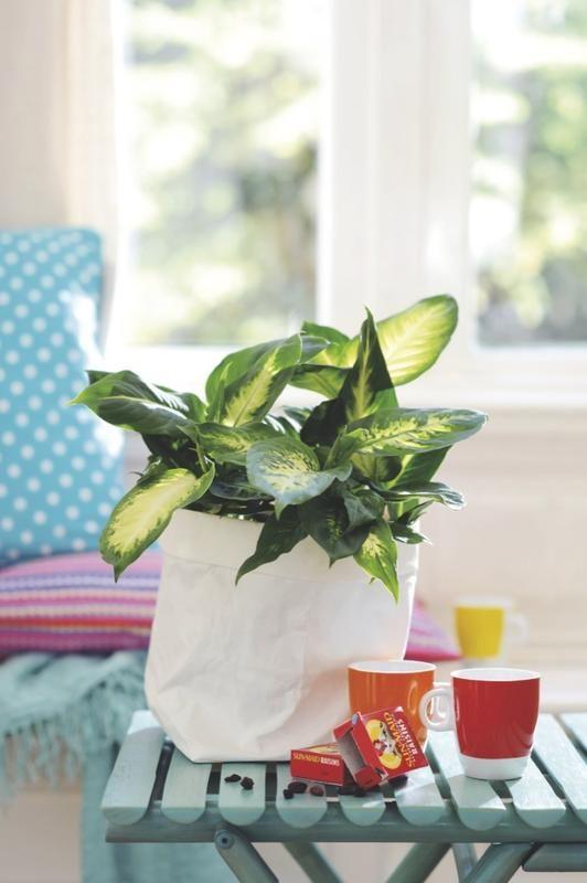 Dieffenbachia: Planta #tropical