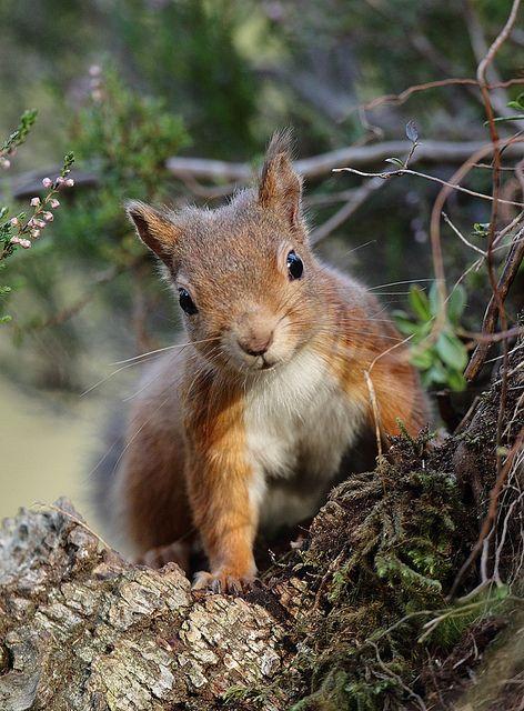 tiny-creatures:  Red Squirrel looking through a gap Sciurus vulgari by mikejrae on Flickr.