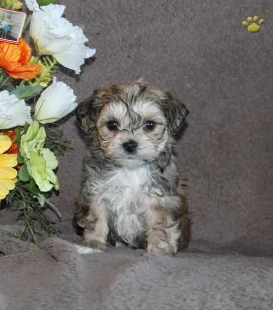Harris - York-Chon Puppy for Sale in Ronks, PA | Lancaster Puppies