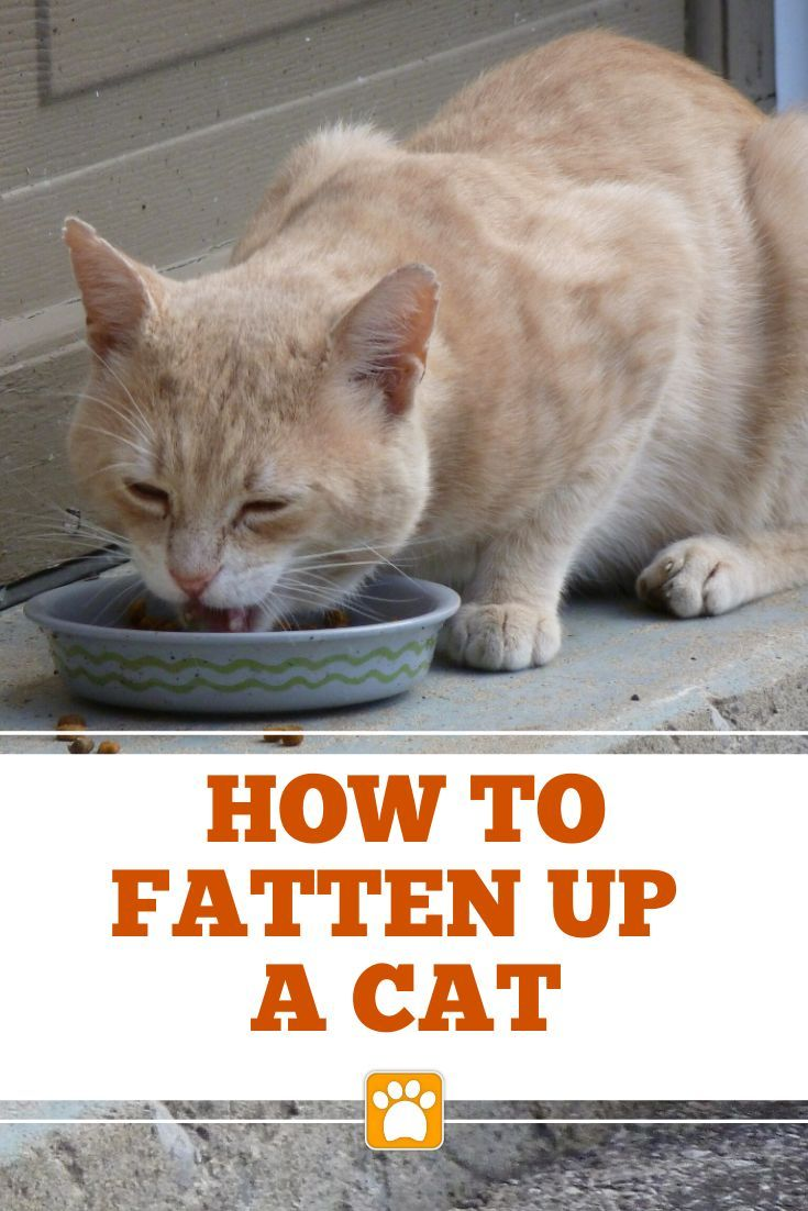 How To Fatten Up A Skinny Cat The Pet Supply Guy Cat Care Cat Training Kittens Cats