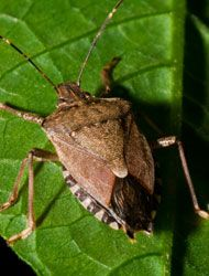294 best images about bug off on pinterest the bug - How to get rid of stink bugs in garden ...