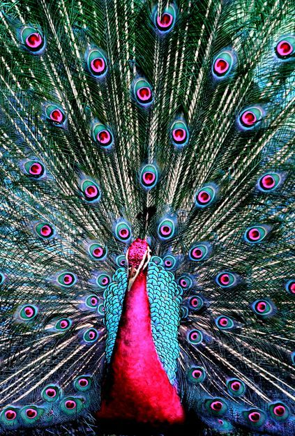Beautiful peacock ♥