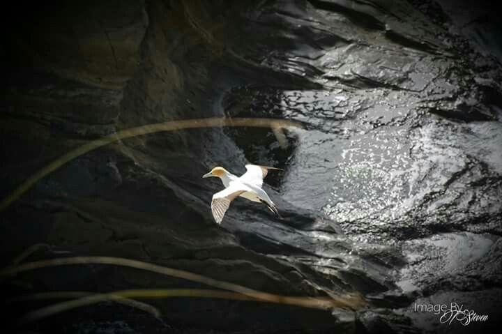 Gliding Gannet at Muriwai NZ