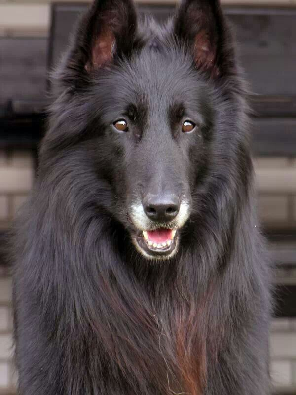 Beautiful Belgian Shepherd
