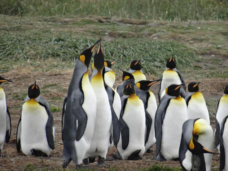 Königspinguine besuchen auf Feuerland => Reisetipps unter http://travelinspired.de/patagonien-koenigspinguine/