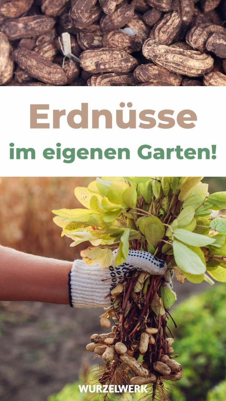 Erdnuss Pflanzen Selber Ziehen Erdnusse In Deutschland Anbauen Wurzelwerk Video Video In 2020 Pflanzen Garten Pflanzen Obstbaume Pflanzen