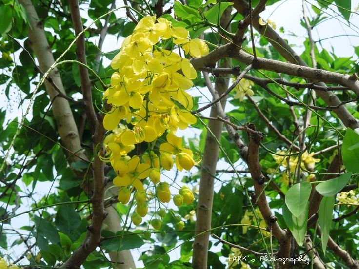 9 best Cassia fistula images on Pinterest Flowering trees