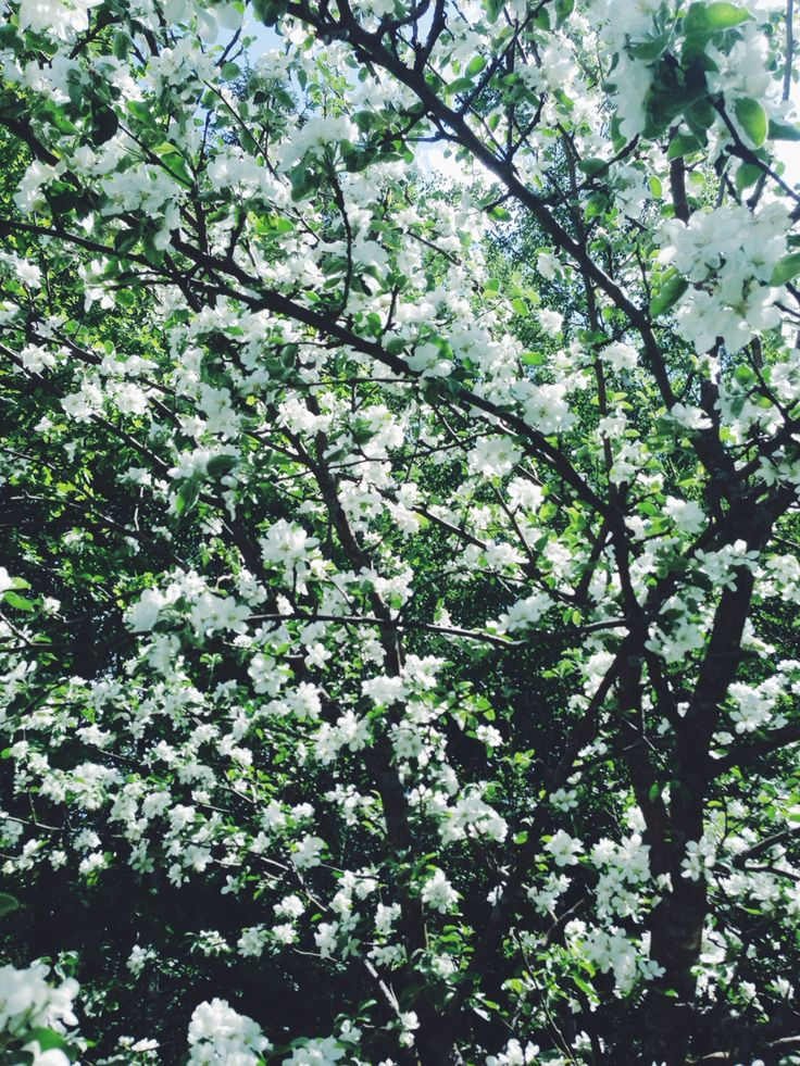 Spring time, apple tree.