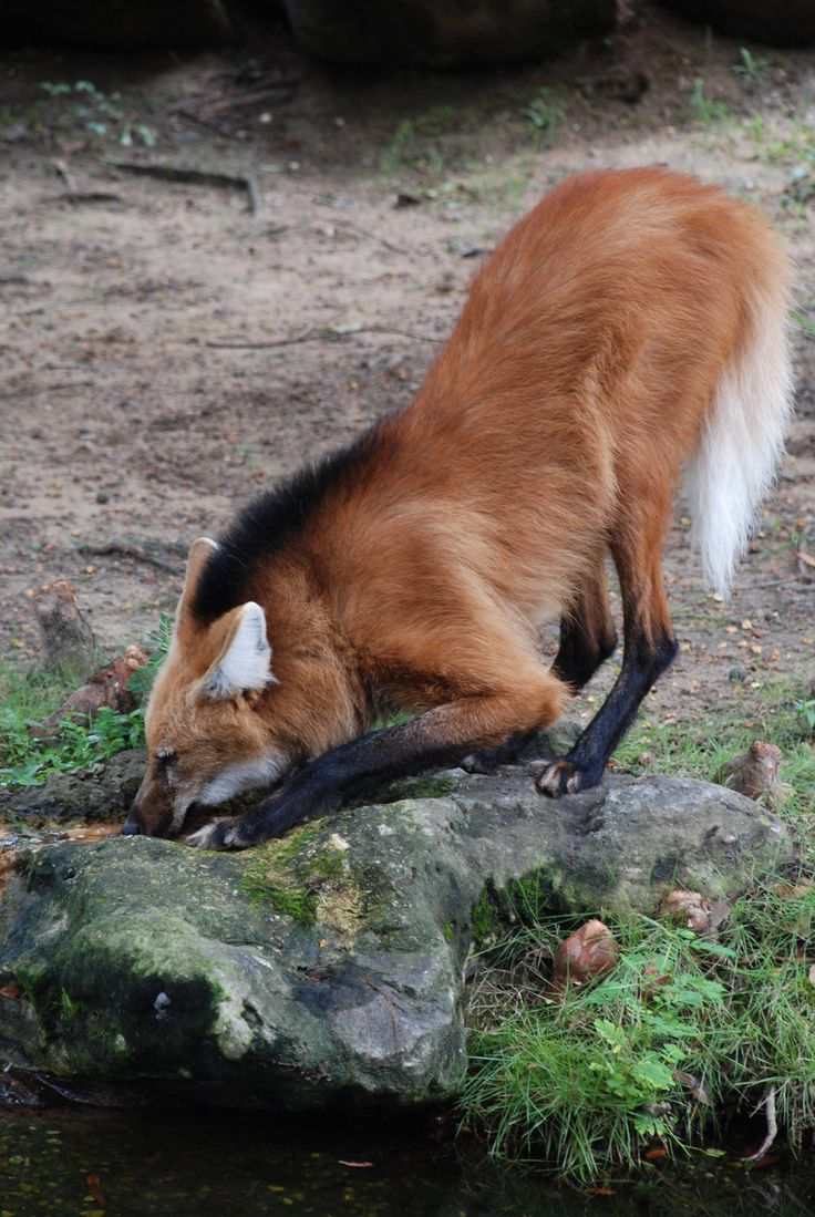 Maned Wolf! The maned wolf is the largest canid of South America, resembling a large fox with reddish fur.  So nice that its not two different species slammed together inhumanely