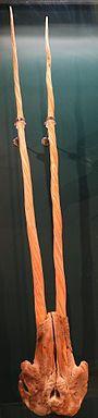 Cráneo de narval con dos colmillos