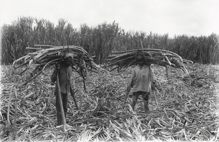 De oogst van suikerriet op de plantage Rust en Werk in Suriname, in 1928. (foto: collectie Tropenmuseum)