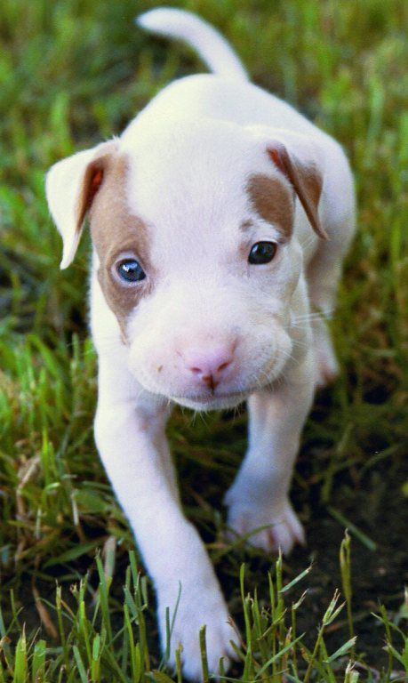 Baby pitbull ... The most misunderstood breed. I own a pitbull  and am here to say that if they are raised right they are the sweetest little angels ever~ <3