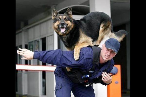 German Shepherd Police Dogs | german shepherd hd wallpapers german shepherd in police training
