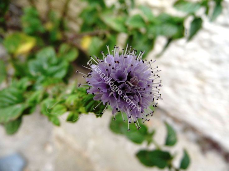 The flower of the wild mint herb
