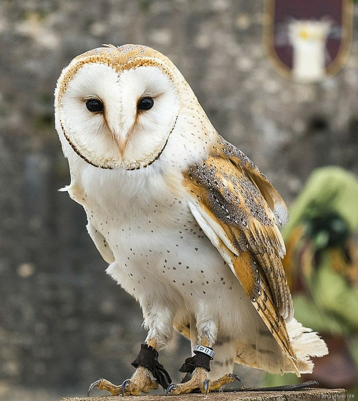 146 best images about birds owls barn owls on pinterest - Image chouette effraie ...