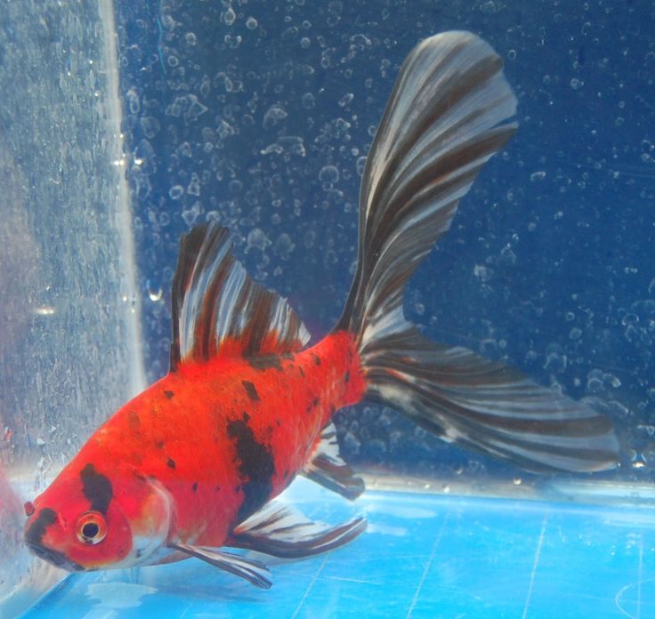 Goldfish nice shubunkin bristol tail goldfish for for Koi fish tail