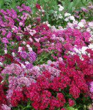 Dianthus barbatus - harjaneilikka