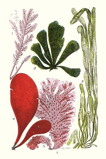 Seaweeds - Common Coralline