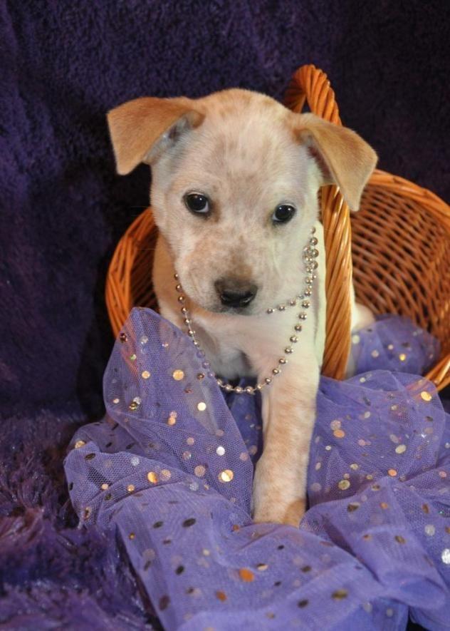 Rosalie aka Rosie (puppy) Cattle Dog & Australian Shepherd Mix Loving Paws Adoption Center Crocker, MO