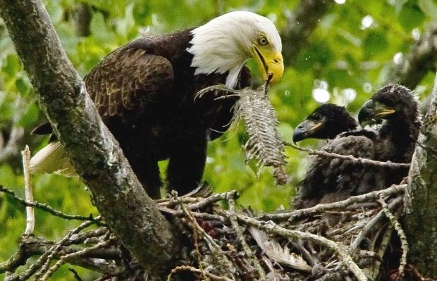 The increase in bald eagles in Stanley Park is a success story. Back in the 1960s, there was only one resident nesting pair; now there are five — one more than last year. (File photo)