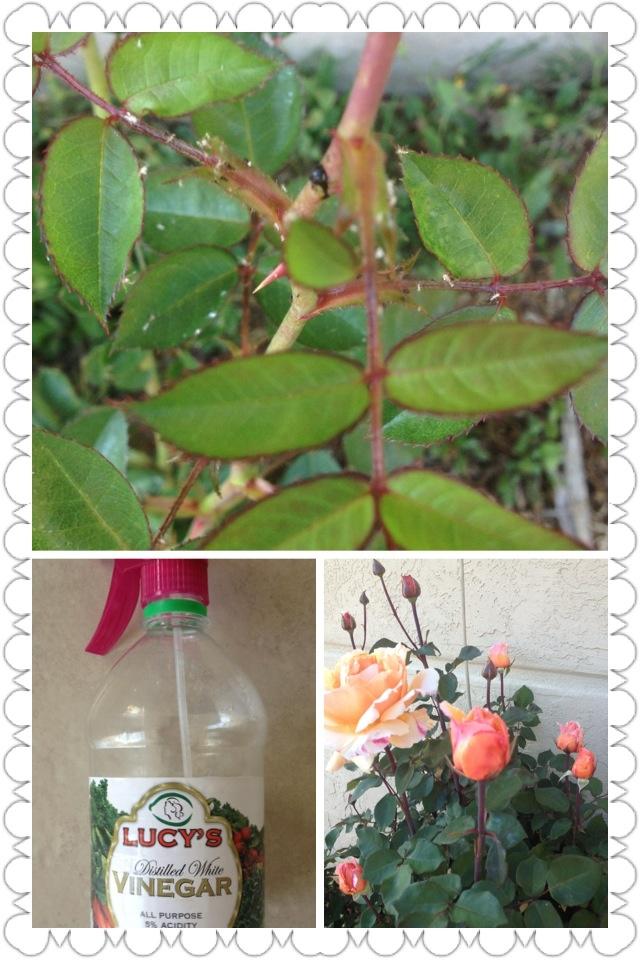 Spidermites (tiny white bugs) on RoseBush - Get rid of them -  1) vinegar 2) detergent 3) water   Spray the whole bush!!! Really works!!